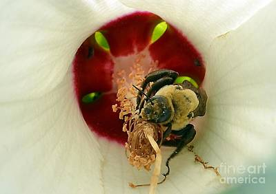 Photograph - Bee Inside A Flower by Kathy Baccari