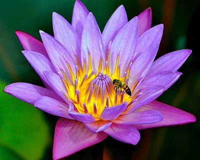 Photograph - Beautiful Bee And Water Lily by Kristina Deane