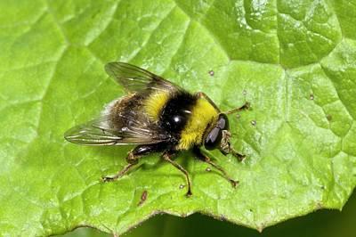 Bee-mimic Hoverfly Art Print by Bob Gibbons