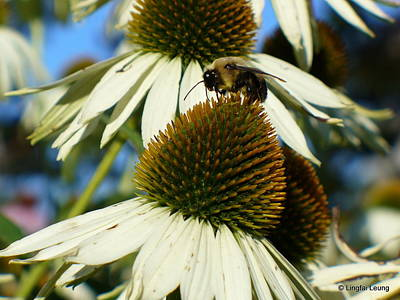 Art Print featuring the photograph Bee On A Cone Flower by Lingfai Leung