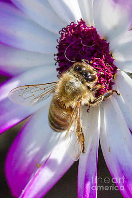Photograph - Bee On A Flower II - Close Up by Gene Berkenbile