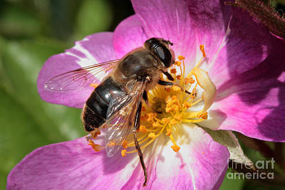 Photograph - Bee On A Flower by Nick  Biemans