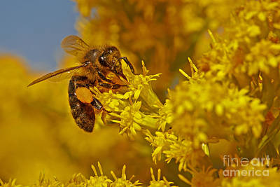 Photograph - Bee On A Yellow Flower by Nick  Biemans