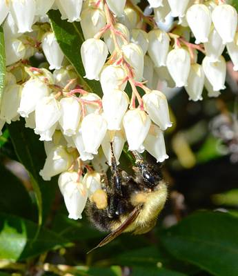 Bee On Andromeda Acadia Original by Lena Hatch