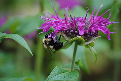 Bee On Bee Balm Art Print