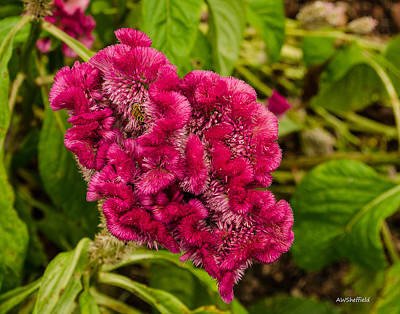 Photograph - Bee On Celosia by Allen Sheffield
