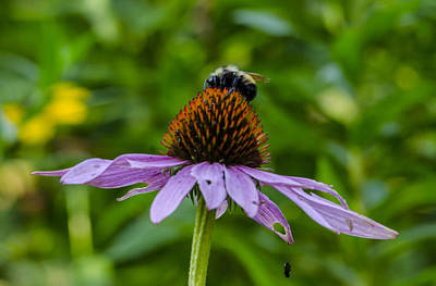 Sports Royalty-Free and Rights-Managed Images - Bee on Cone flower by David Tennis