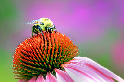 Photograph - Bee On Coneflower by Carolyn Derstine