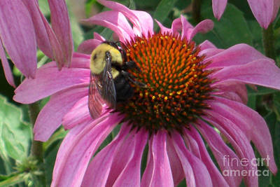 Photograph - Bee On Coneflower by Deborah Smolinske