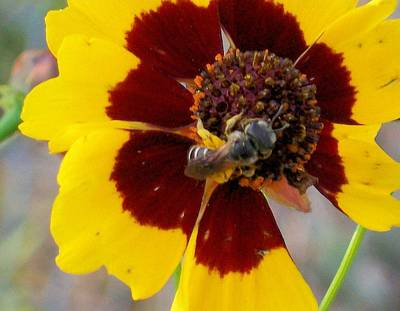 Photograph - Bee On Coreopsis by Belinda Lee