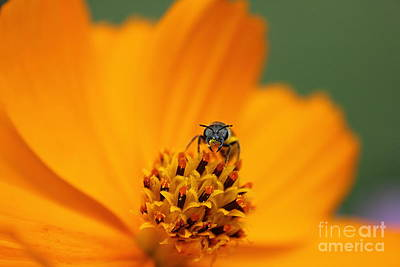 Art Print featuring the photograph Bee On Cosmo by Lisa L Silva