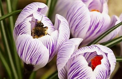 Bee On Crocus Art Print by Raven Regan