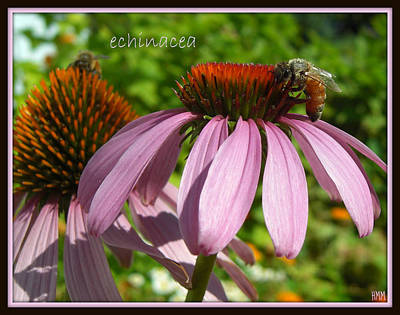 Art Print featuring the photograph Bee On Echinacea by Heidi Manly