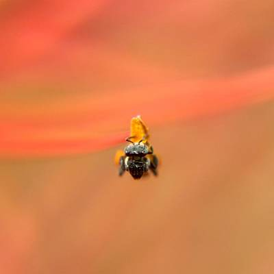 Photograph - Bee On Flower Anther by Ramabhadran Thirupattur