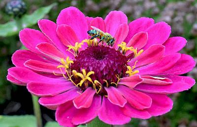 Photograph - Bee On Fuschia Flower by Michele Avanti