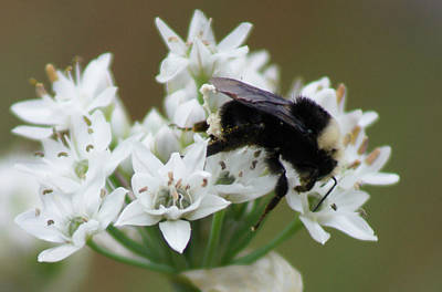 Photograph - Bee On Garlic Chive by Shirley Heyn