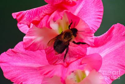Photograph - Bee On Gladolia by Deb Kline