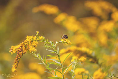 Photograph - Bee On Goldenrod by Darlene Bell