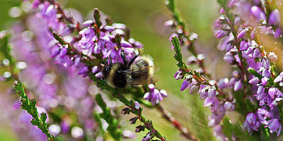 Photograph - Bee On Heather by Roberto Pagani