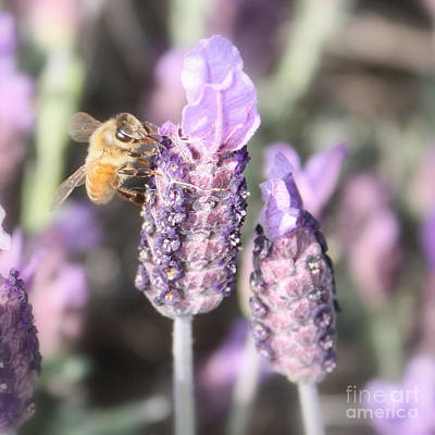 Photograph - Bee On Lavender Square by Carol Groenen