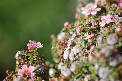 Tea Tree Flower Photograph - Bee On New Zealand Tea Tree by Linda Brody
