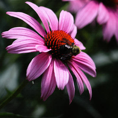 Photograph - Bee On Pink Cone Flower by Suzanne Gaff
