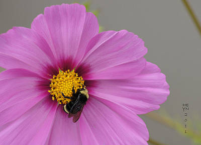 Photograph - Bee On Pink Cosmos by Shirley Heyn