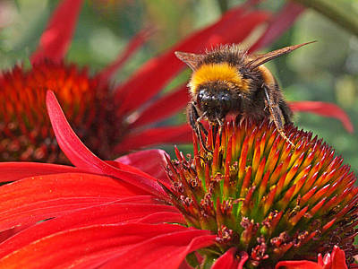 Photograph - Bee On Red Coneflower by Gill Billington