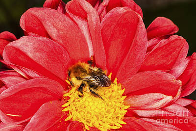 Photograph - Bee On Red Dahlia by Diane Macdonald