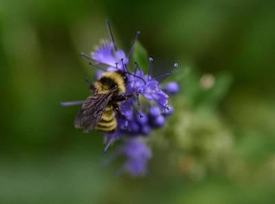 Photograph - Bee On Spirea by Rae Ann  M Garrett