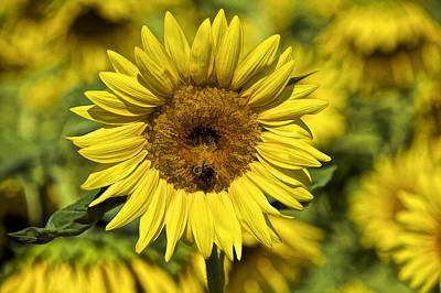 Mellow Yellow - Bee on Sunflower by David Letts