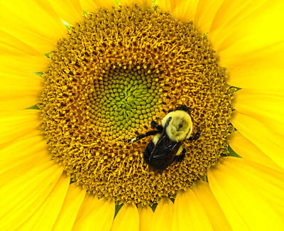 Yellow And Orange Sunflower Photograph - Bee On Sunflower by Photographic Arts And Design Studio