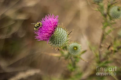 Photograph - Bee On Thistle by Suzanne Luft
