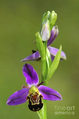 Bee Orchid Flower Print by Colin Varndell