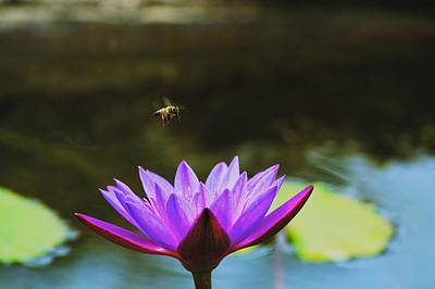 Photograph - Bee Over Lotus by Kristina Deane