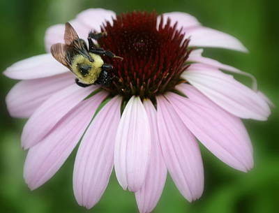Echinacea Photograph - Bee Pink by Michelle Ayn Potter