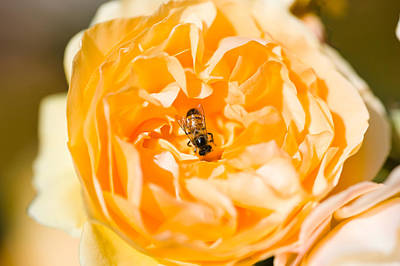 Bee Pollinating A Yellow Rose, Beverly Art Print