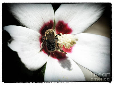 Photograph - Bee Pollination by John Rizzuto