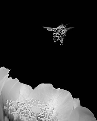 Photograph - bee rising #2 B/W by Len Romanick