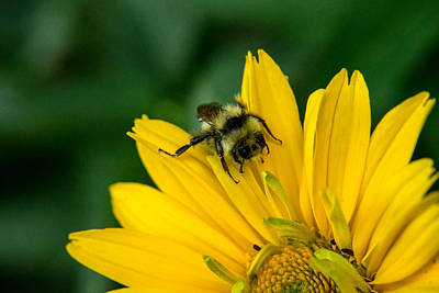 Apocrita Photograph - Bee Searching For Pollen 1 by Douglas Barnett