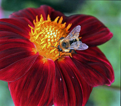 Bee Seeing Yellow On Red Art Print
