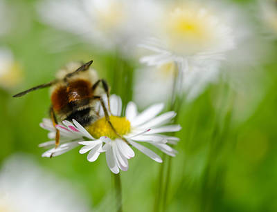 Photograph - Bee The Daisy by Don Schwartz
