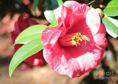 Bee With Camellia Art Print by Carol Groenen