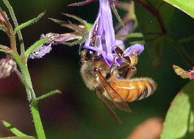 Photograph - Bee With Flower by Ron Roberts