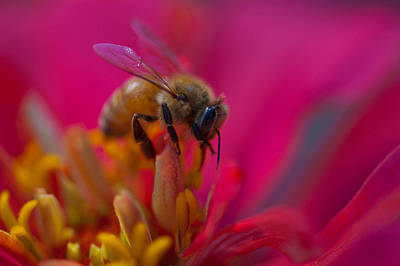 Photograph - Bee Within Flower by Sarah Crites