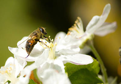 Photograph - Bee Working On The Flower by Brch Photography