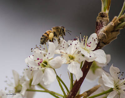Photograph - Bee Working The Bradford Pear 1 by Allen Sheffield