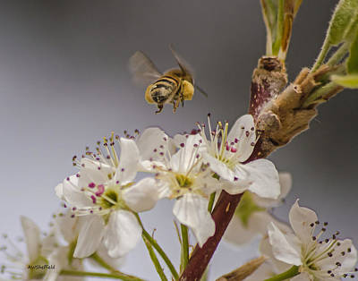 Photograph - Bee Working The Bradford Pear 2 by Allen Sheffield