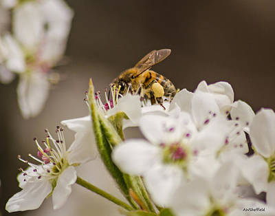 Photograph - Bee Working The Bradford Pear 3 by Allen Sheffield