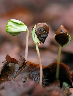 Nature Unfurls Photograph - Beech (fagus Sylvatica) Tree Seedlings by Bob Gibbons